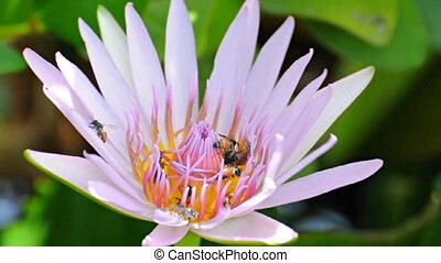 Bees swarming Lotus - The masses of bees swarming lotus