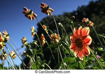 red and yellow flowers looking at the sun