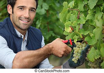 Man pruning vine