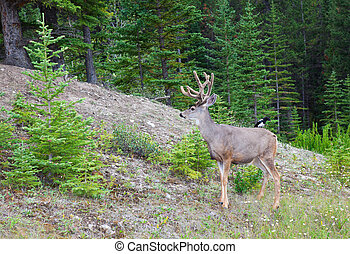 Wild Kingdom - An eight-point buck, white-tail deer with...