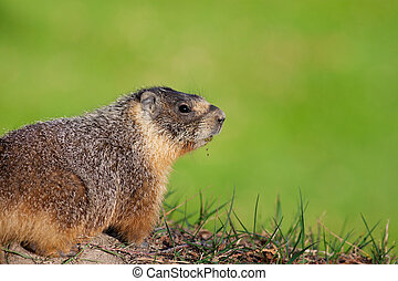 Yellow-Bellied Marmot Closeup - Yellow-bellied marmot with...