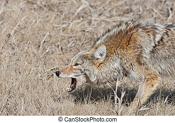Snarling Coyote - A fierce, snarling coyote with mouth open...