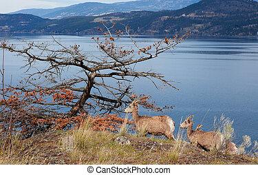 Okanagan Mountain Goats - Rocky Mountain Goats along the...