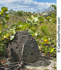 Termite Mound on Beach Dune - termite mound on beach dune at...