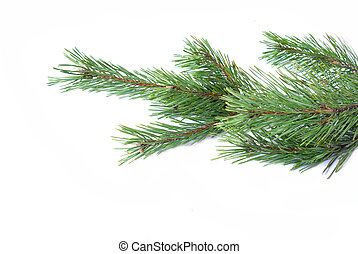 spruce - Close-up of spruce twig on white