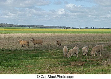 mammal - ewes and lambs grazing with paddocks of crop