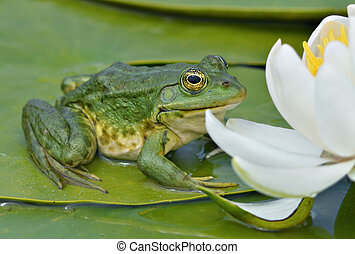 Marsh frog sits on a green leaf among white lilies on the...