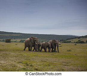 Elephant Walk - Herd of elephants walking together after...