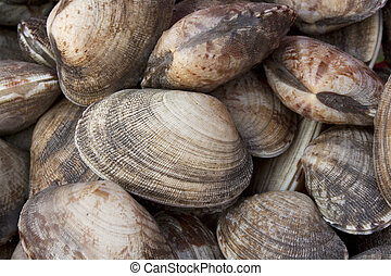 Manila clam, Ruditapes philippinarum