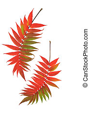 Autumn Rowan Leaves - Two rowan leaves in the red colors of...