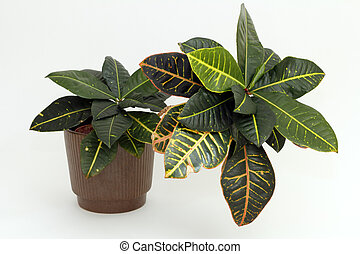 Tropical Houseplant - A tropical Croton houseplant with...