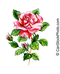 Rose watercolor - Watercolor three roses on a white...