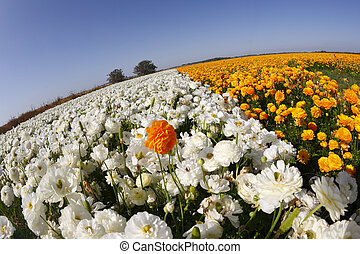 """The buttercups, photographed by an objective """" the Fish eye """""""