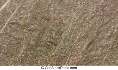 Wind in wilderness - Close up of meadow grass bents swinging...