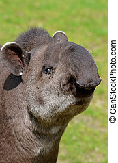 Portrait of south American tapir (Tapirus terrestris) with...