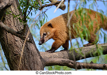 South American Coati in tree - South American Coati, or...
