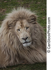 Lion from Oz - Looking like a lion without courage