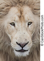 Lion Heart - Lion giving a heartful stare