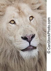 Loving Lion - Adorable lion looking petlike in a portrait