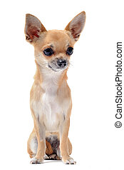 short hair chihuahua - portrait of a cute purebred chihuahua...
