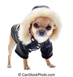dressed chihuahua - chihuahua dressed in front of white...