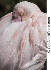 Shy Flamingo - Flamingo bird looking modest Cango Wildlife...