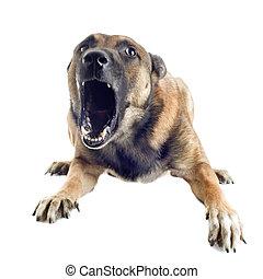 angry malinois - angry purebred belgian sheepdog malinois on...
