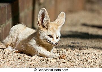 Sleepy Fennec - A sleepy Fennec, the smallest fox in the...