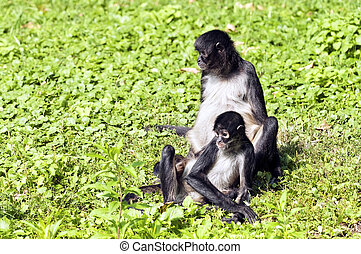 Spider Monkeys - Geoffroys Spider Monkey, Black-handed...