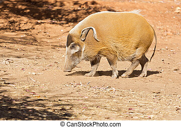 Red River Hog - A stout Red River Hog with long curly ears...