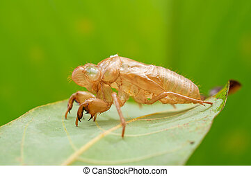cicada exoskeleton on leaf