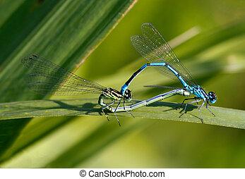 Damselfy Mating - Azure damselfy mating
