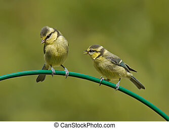 Young Blue Tits -  Juvenile blue tits on a curved perch