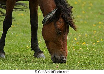 New Forest Wild Pony - Pony grazing/feeding