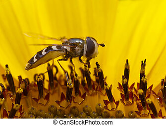 Hoverfly In a Sunflower - Hoverfly feeding inside of a...