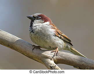 House sparrow - Sparrow perched on a branch