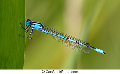 Azure Damselfly perched on a blade of grass