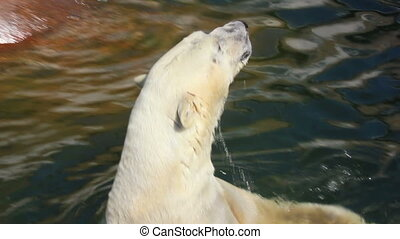 pleased polar bear in water