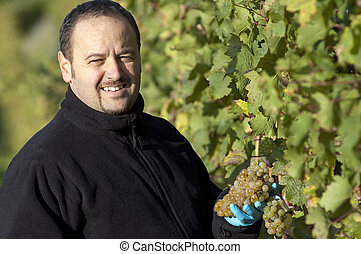 Vintner in the Vineyard - Young vintner is harvesting white...