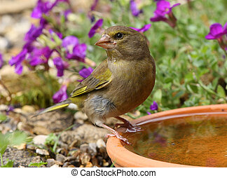 Greenfinch - Close up of a Greenfinch drinking
