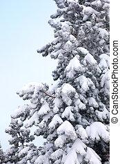 Snow on a fir tree