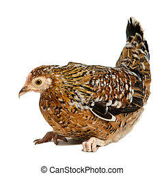 Brown speckled chicken isolated on white background