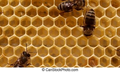 Work of the bees - Bees convert nectar into honey, and cover...