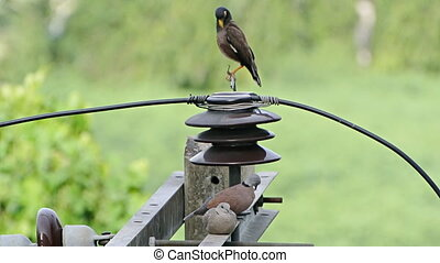 The birds preen - Collared Dove and Common Myna preen to...