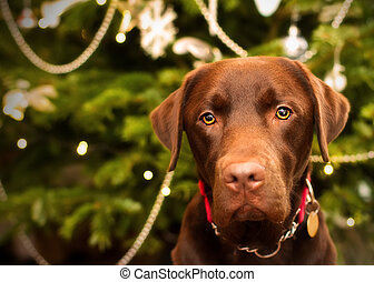labrador by the christmas tree - labrador next to the...