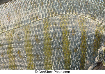 Lateral line - Closeup of lateral line of barred surf perch