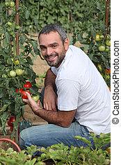 Man picking tomatoes in garden