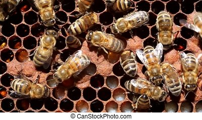 Life and reproduction of bees - Bees caring for larvae. They...