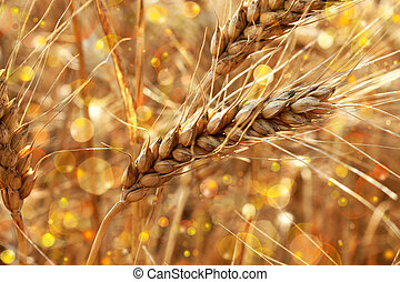 golden wheat spikes shining in the sunlight