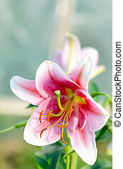 Summer Scene: Blooming Lily Flower